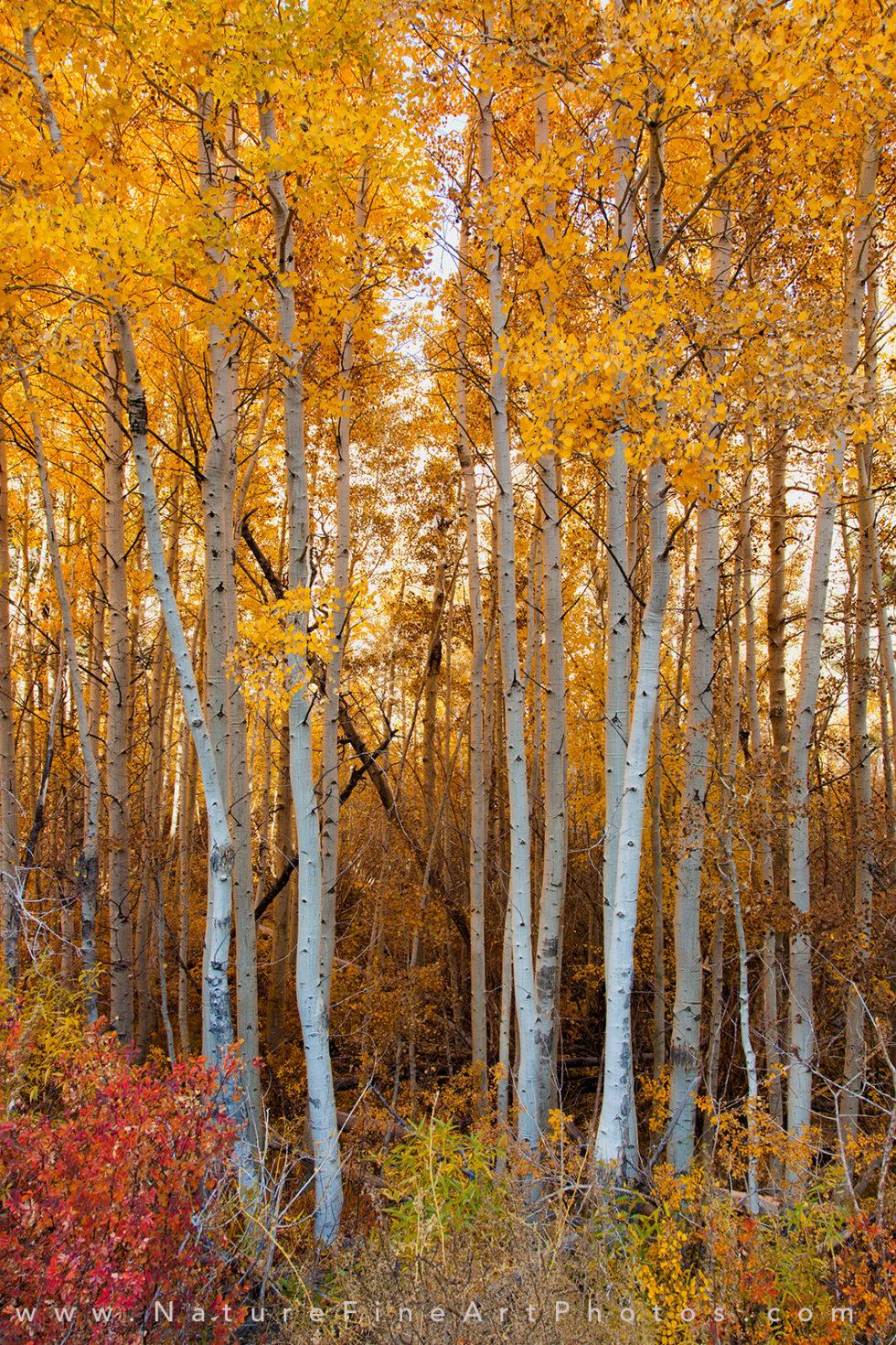 fall foliage aspen tree with fall colors