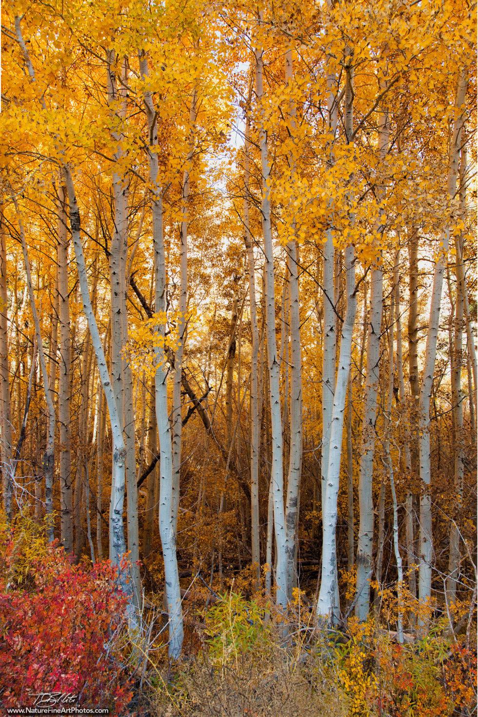 Nature Photo of Aspen Foliage