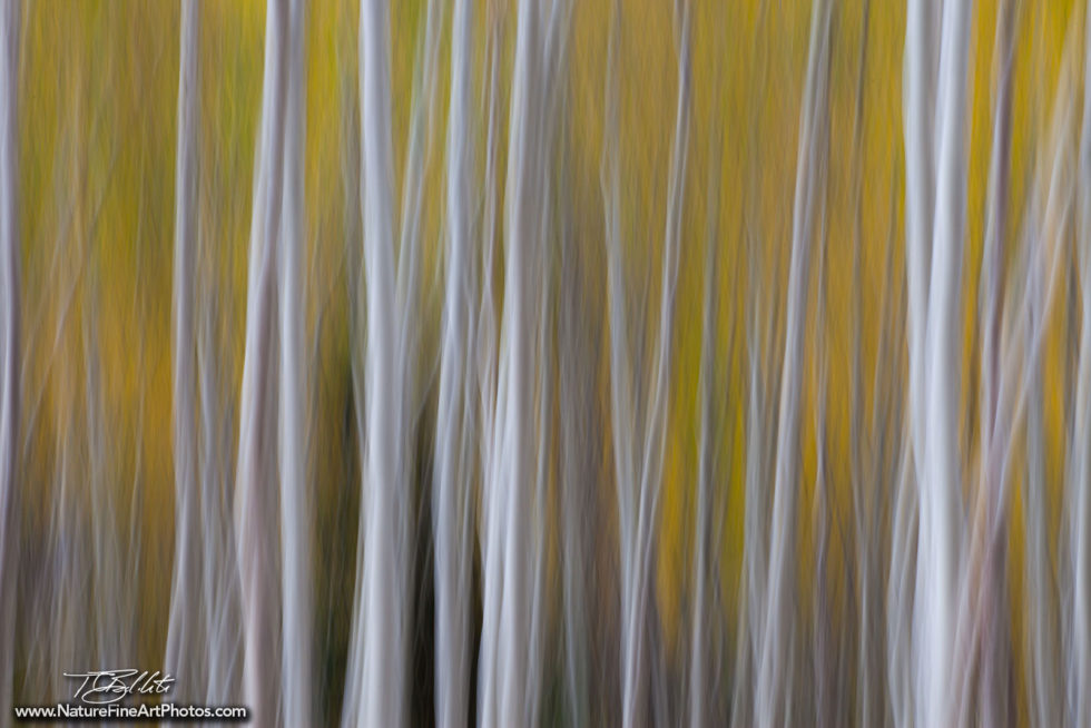Fine Art Photo of Aspen Trees in Motion