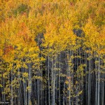 Nature Photo of Aspen Trees