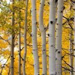 Aspen Trees Photo