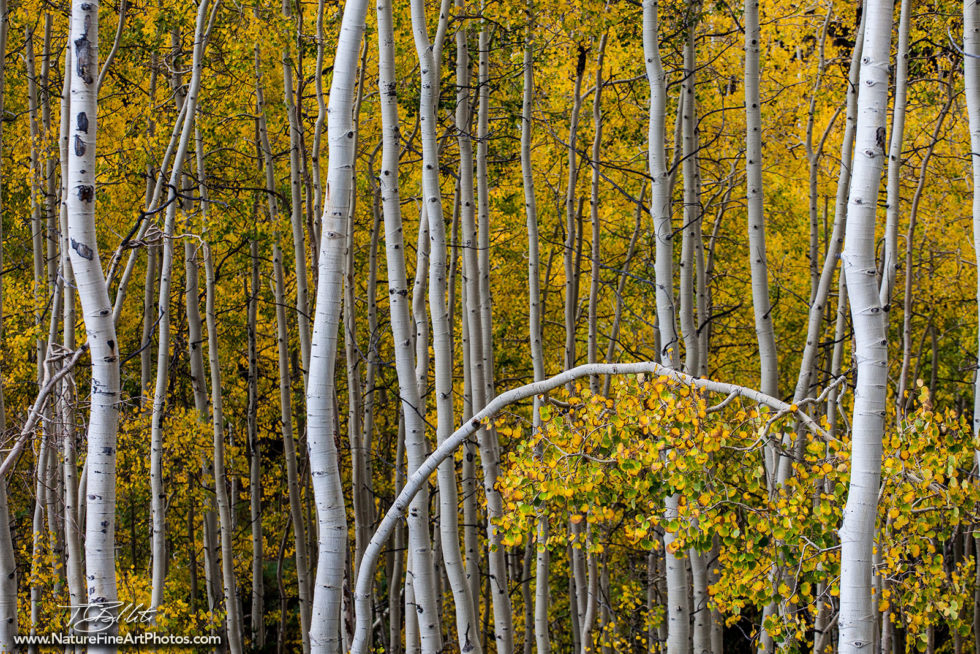 Fall Foliage Aspen Photo