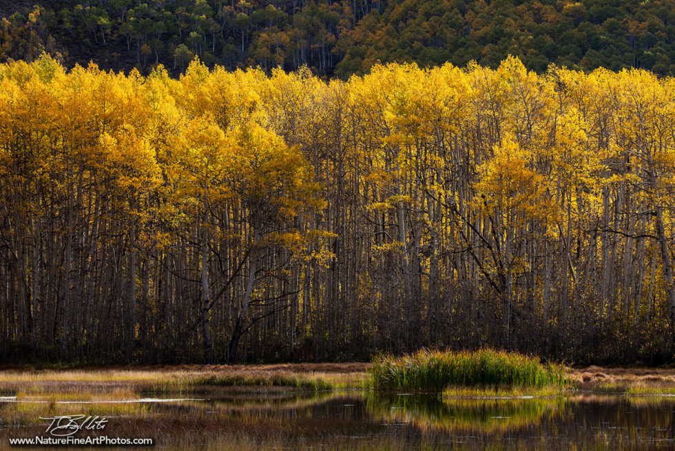Fall Foliage Photo of Midway Aspen Grove