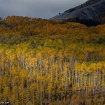 Fall Foliage Photo of Aspen Trees