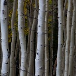 Nature Photo of Aspen Grove in fall
