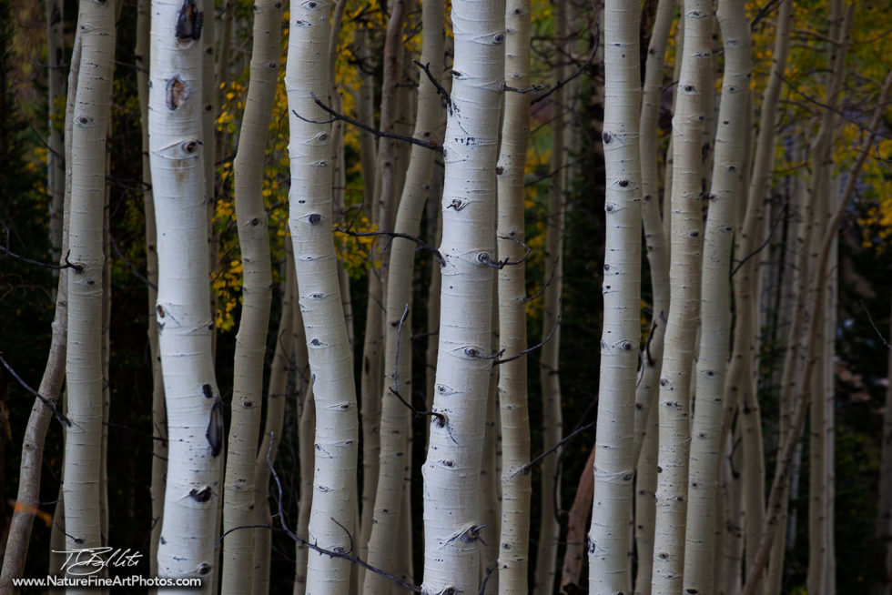 Nature Photo of Aspen Grove in fall