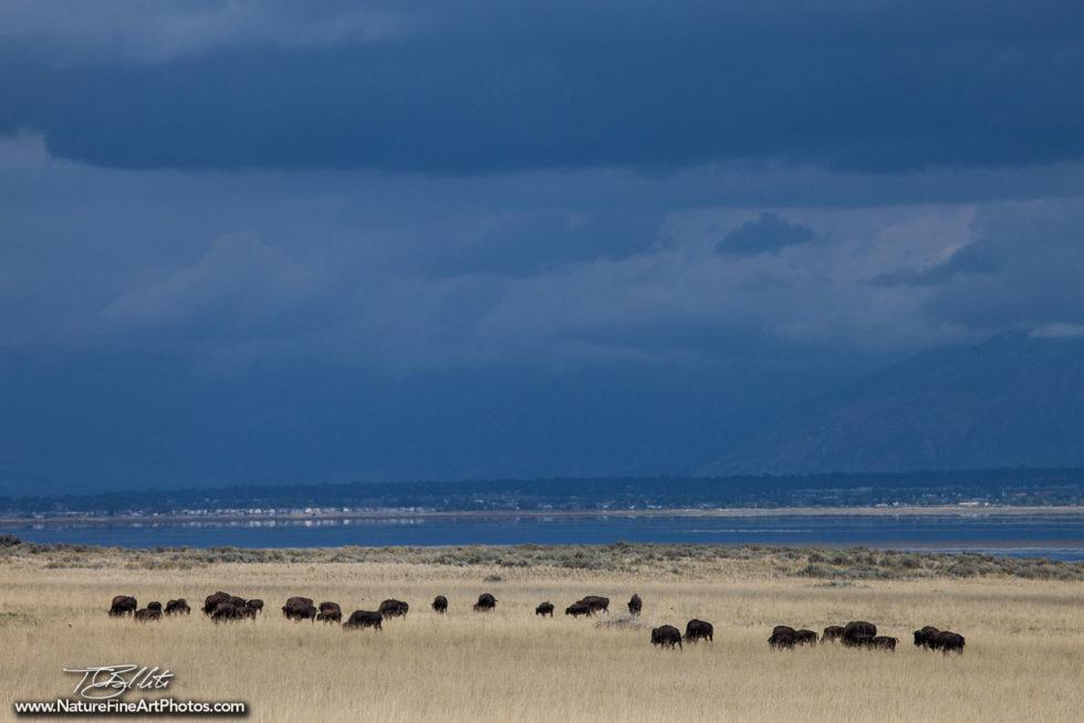 Wildlife Photo of Bison Roaming Free