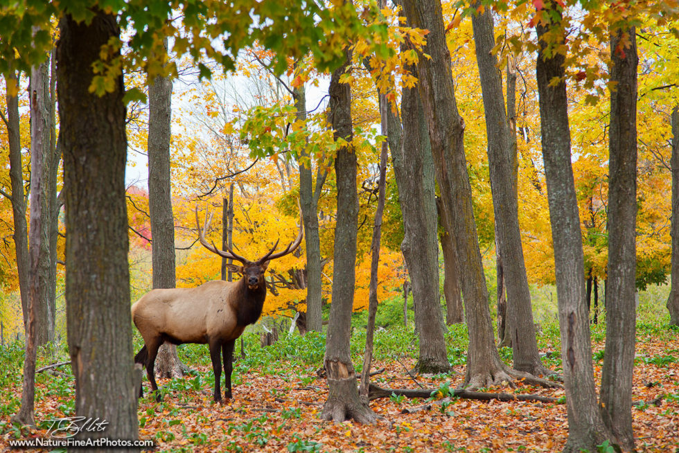 Wildlife Photo of the Elk's Lodge in Michigan