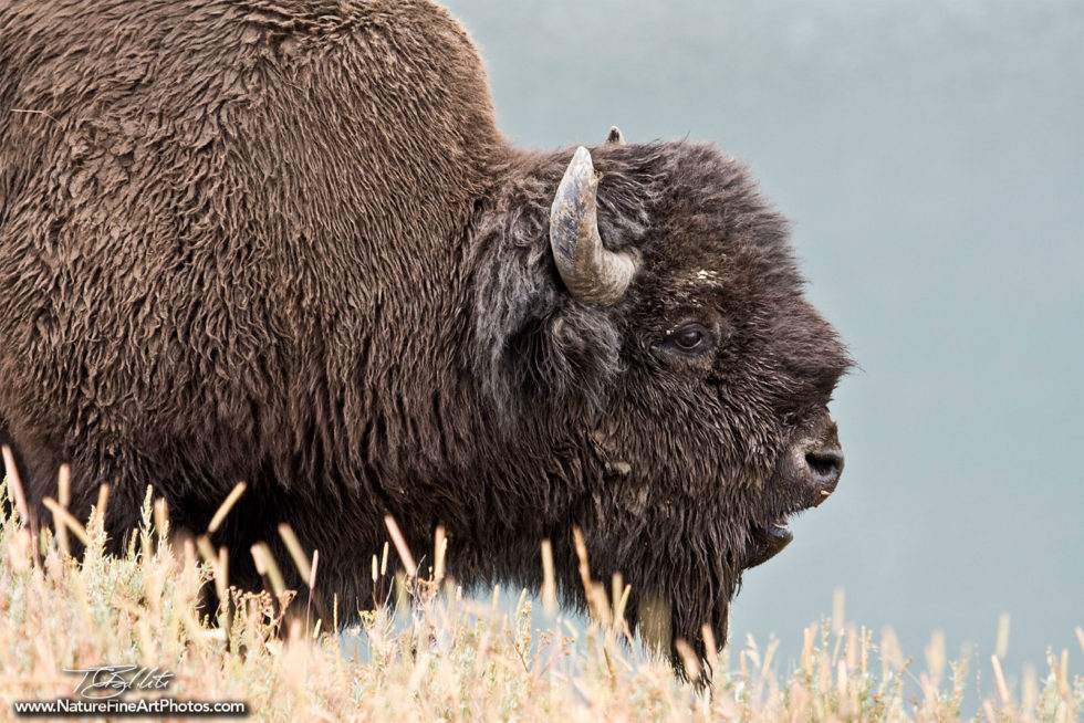 Wildlife Photo of Bison
