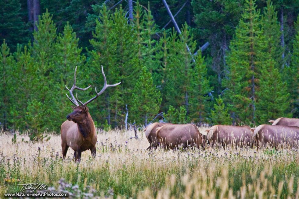 Wildlife Photo of Elk Herd