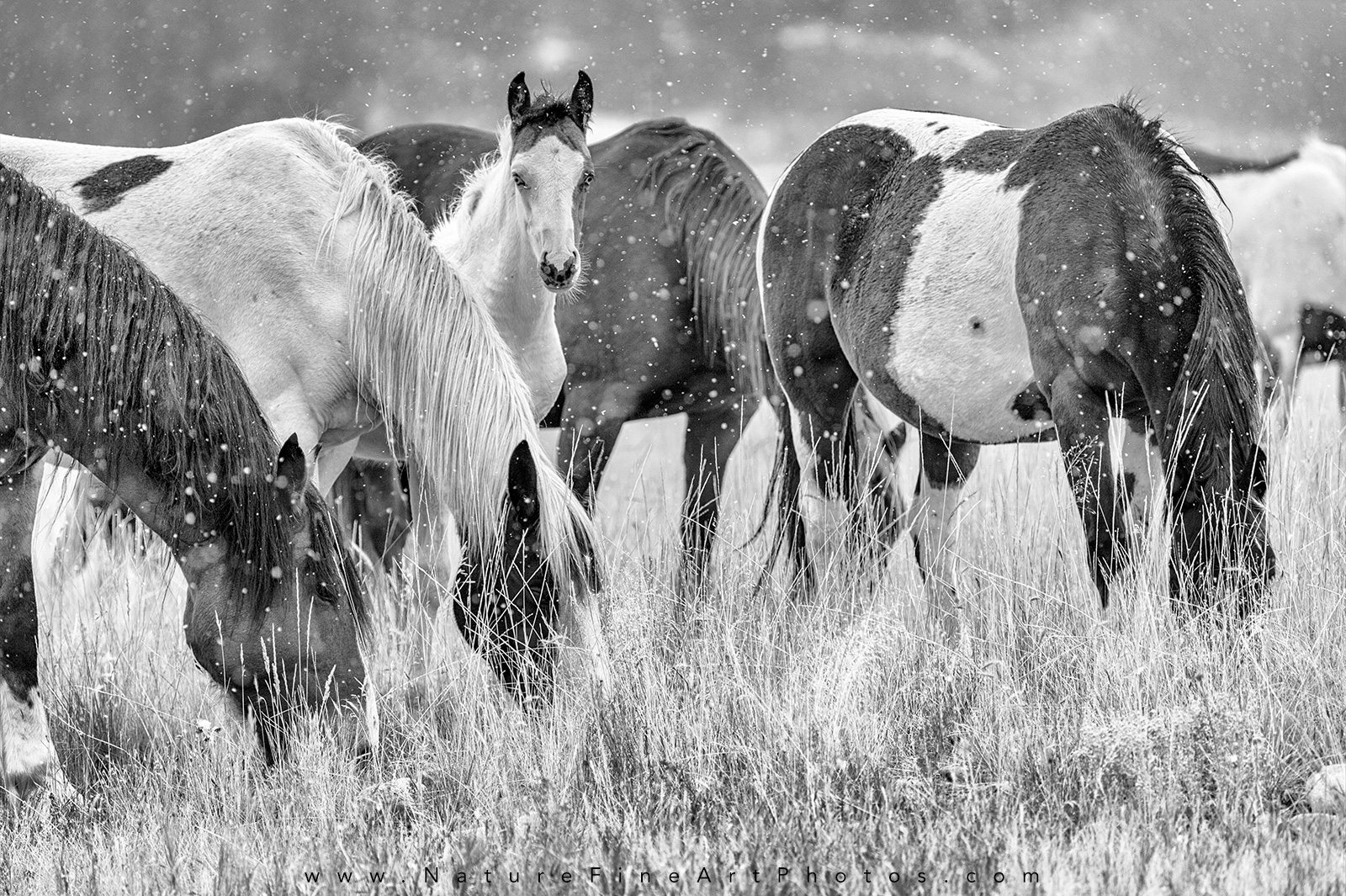 Wild Horse herd with alert baby horse Photo