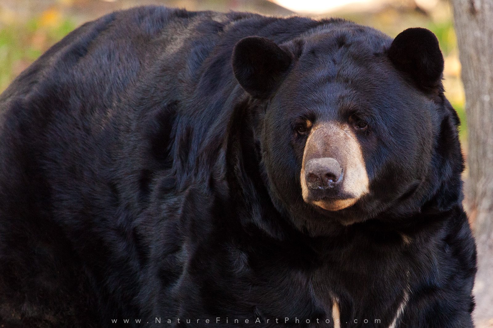 Wildlife Bear Photo