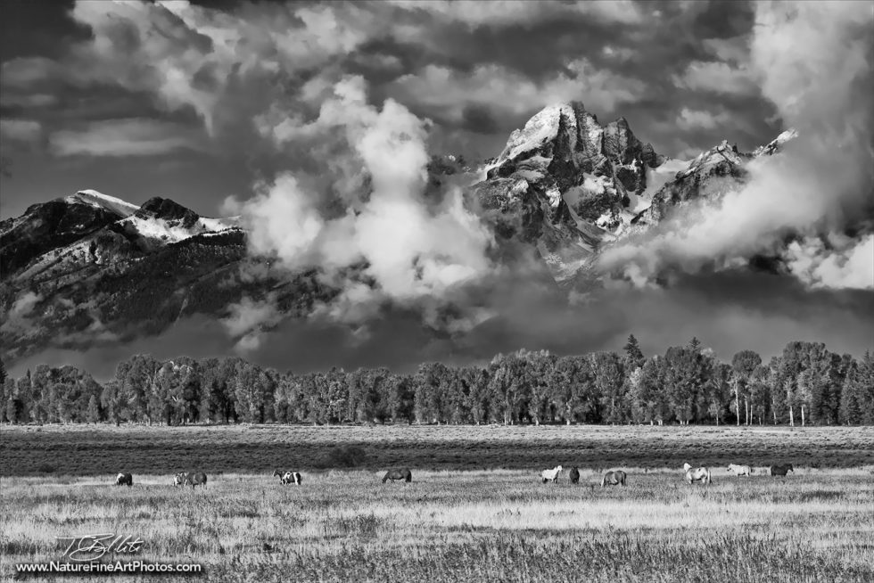 Grand Tetons Horses Grazing Black and White Photo