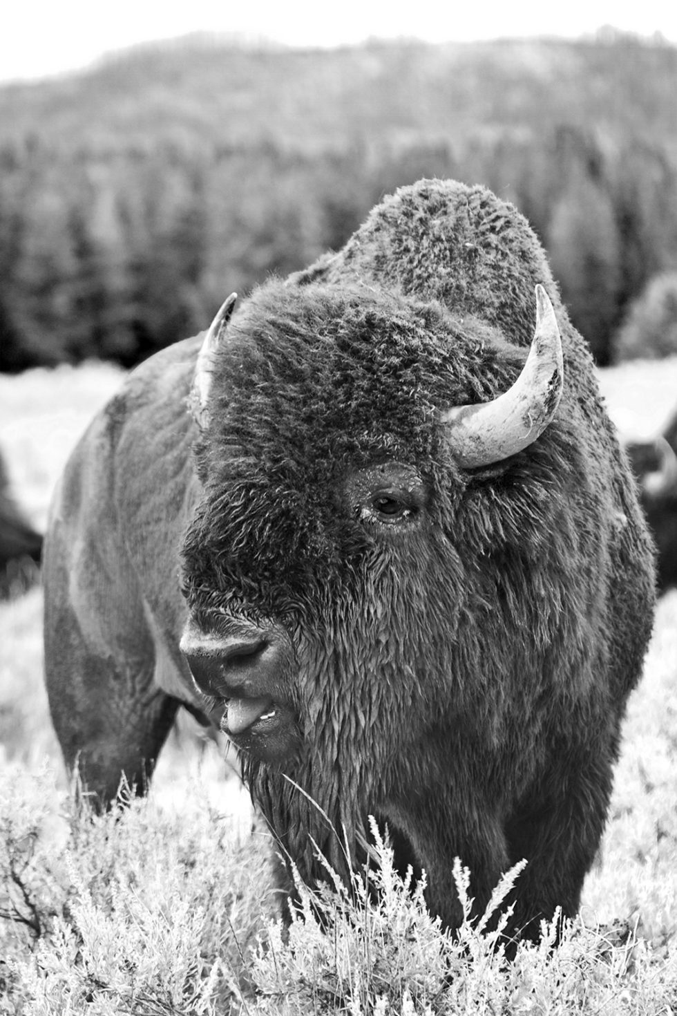 close up of bison at yellowstone national park photo