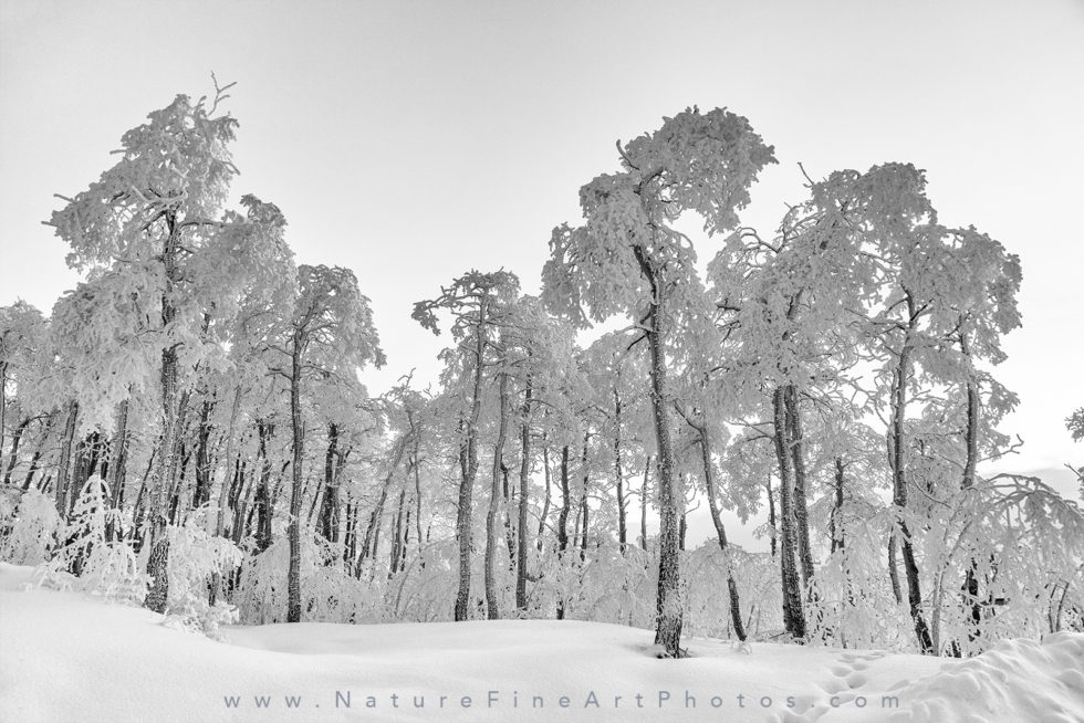 photo of group of snowy trees in powder