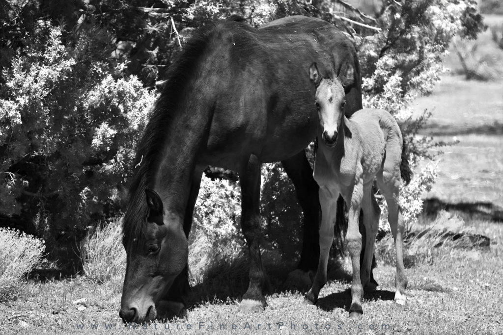 wild horses foal and mother (mare)