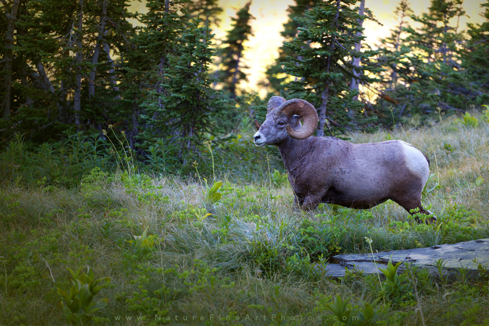 photo of ram in Glacier National Park