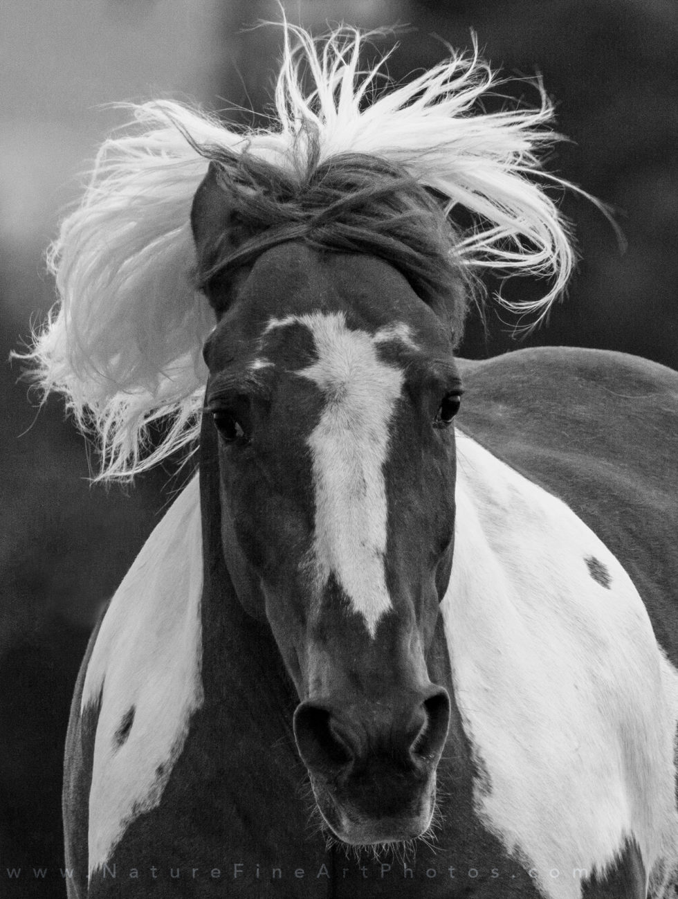 photo of paint horse running with wild flowing hair