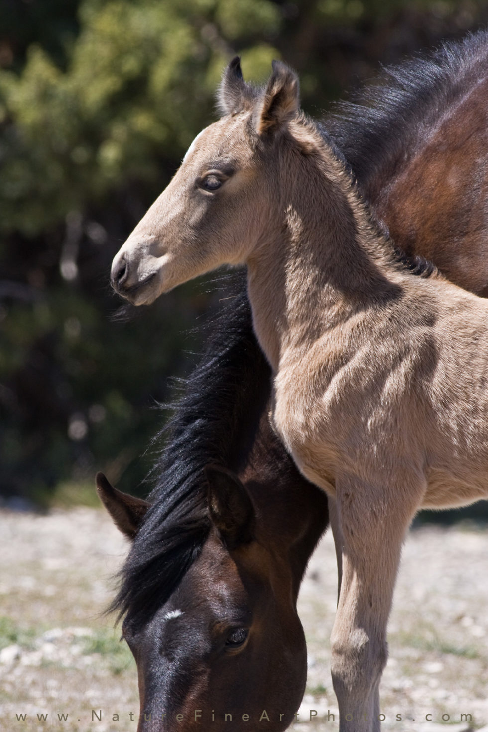 buckskin colored wild baby horse