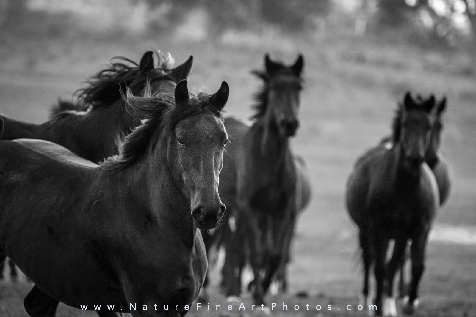 Herd of wild horses running photo