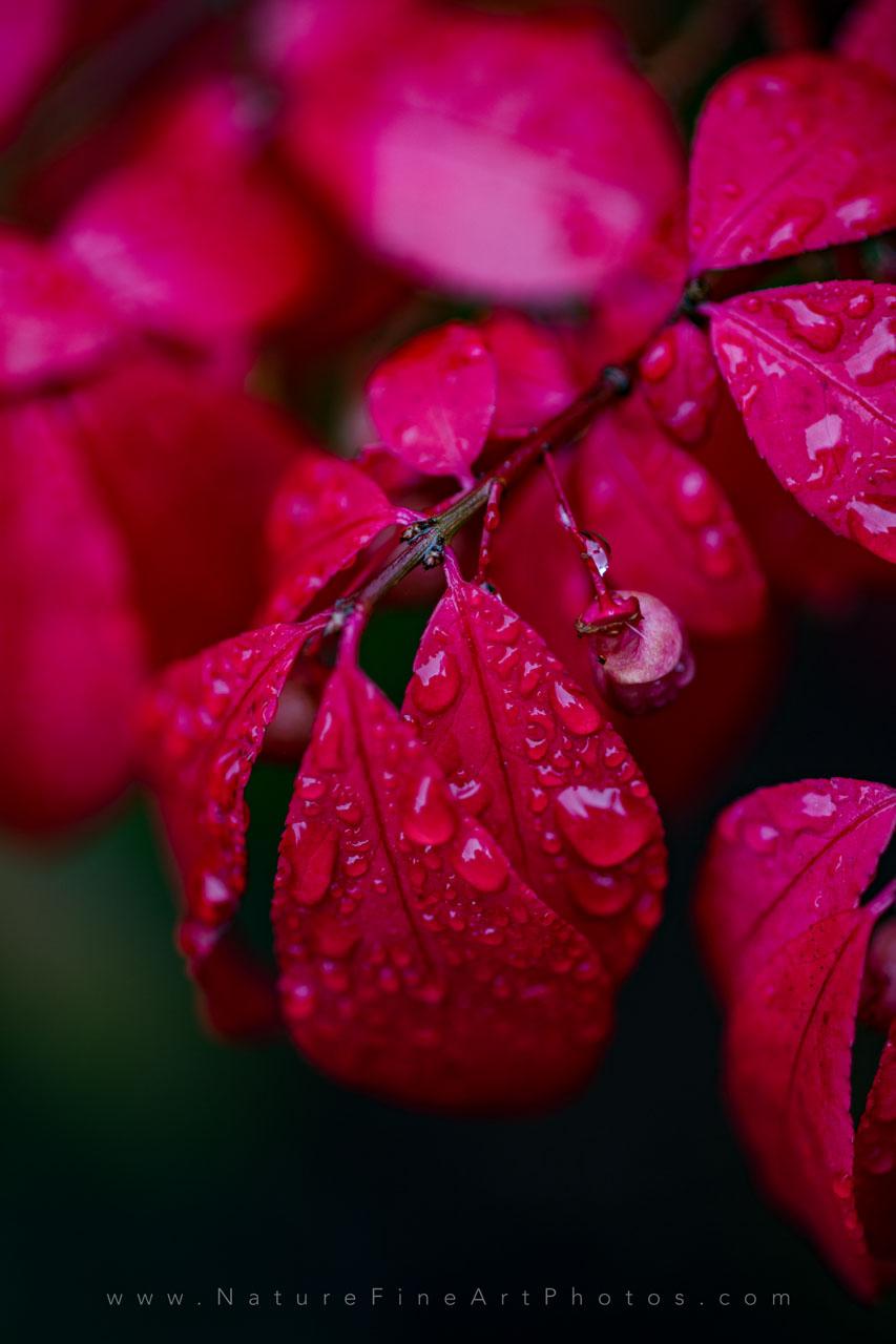 photo of burning bush fall colors