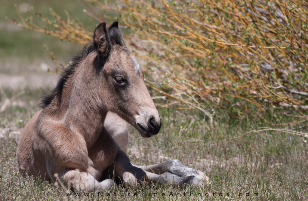 wild horse baby sleeping