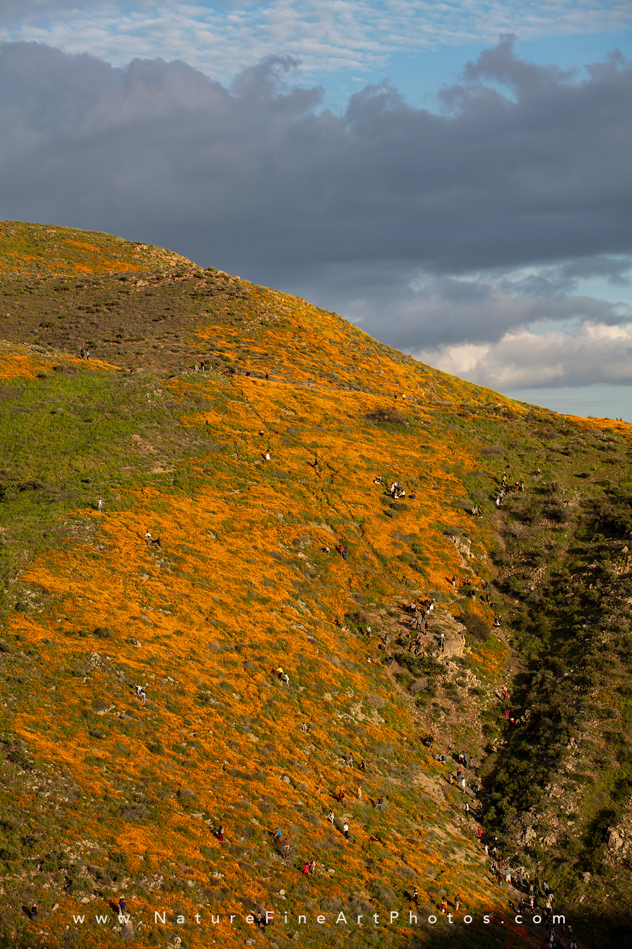orange poppies walker canyon