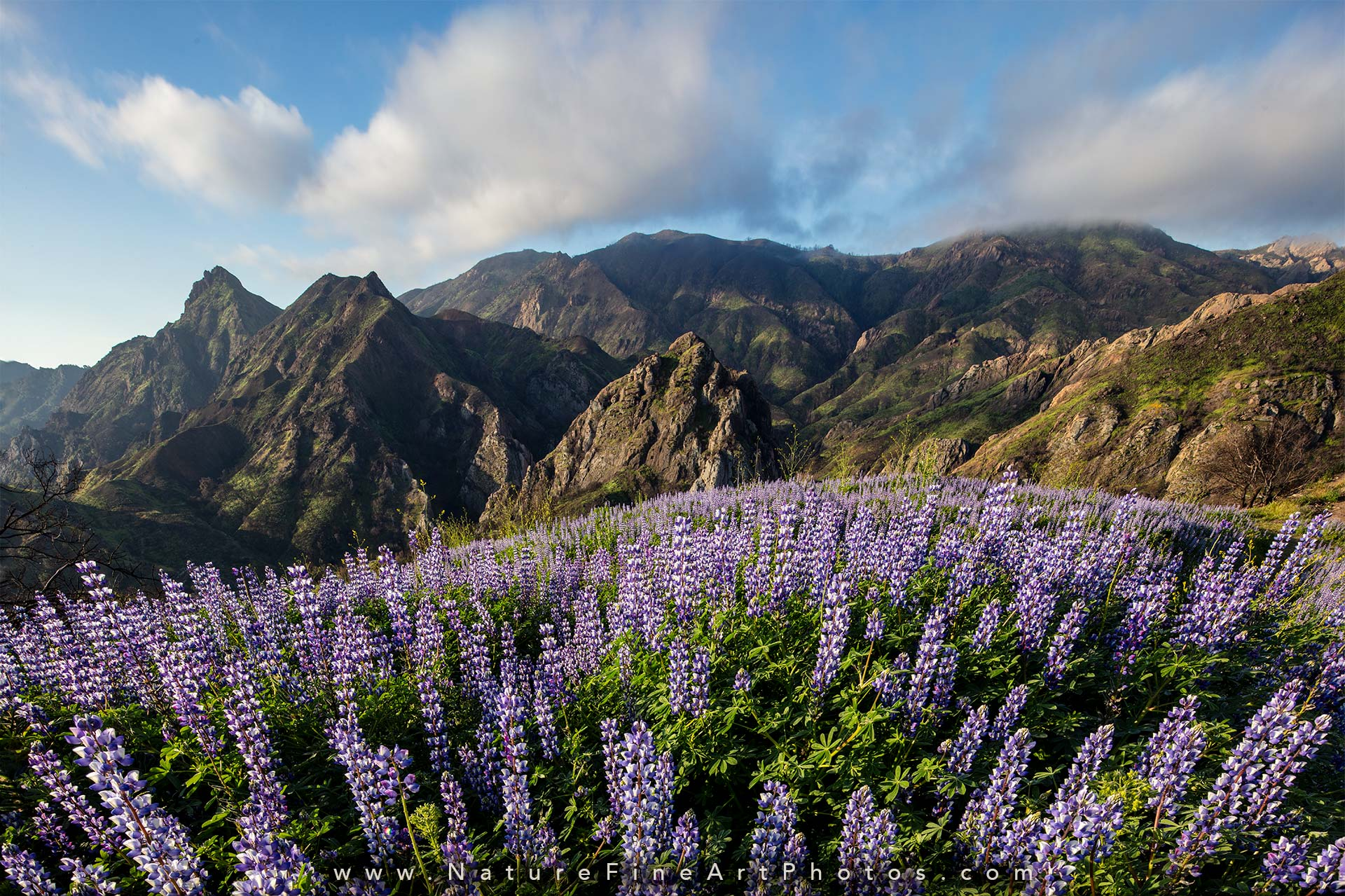 photo of lupine flowers