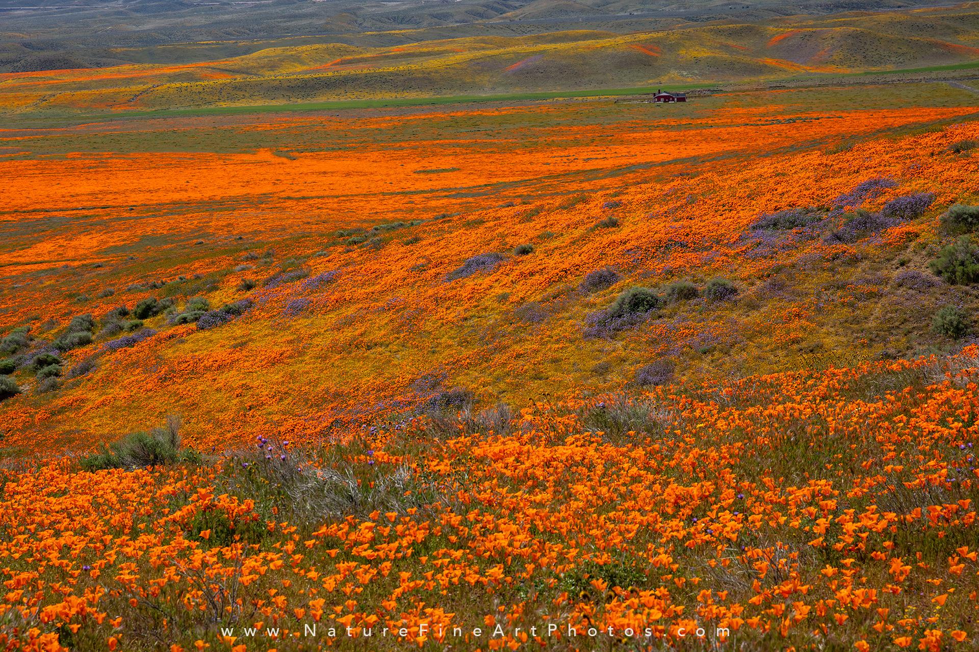 photo of poppy reserve